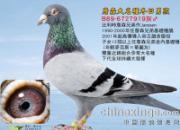 """每日一鸽:世纪名种鸽""""冬日男孩""""(图)"""