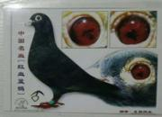 东方不败的秘诀:精于学习 快乐养鸽