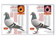神鸟来了!北京开创者四关鸽王冠军欣赏