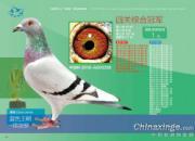 名家大腕的鸽王长啥样?北京百鸽园综合前十名欣赏