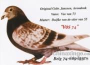 """每日一鸽:五羽鸽王之父""""红狐74""""(图)"""