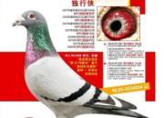 """每日一鸽:世界鸽王冠军""""独行侠""""(图)"""