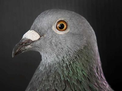 笑对人生:六大极简养鸽法法则