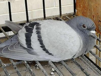 鸽病防治经验 助鸽友少走弯路