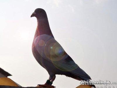 买种必看:买鸽比挑媳妇还难!