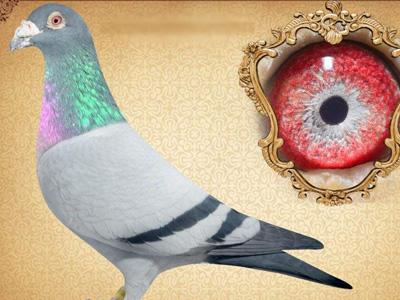 超详细攻略:如何选送和拍卖公棚鸽