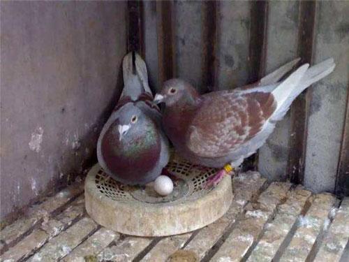 请用智慧与科学调理好种鸽