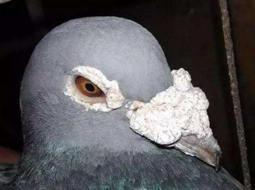 鸽子养不好 这些抱怨是没有意义的