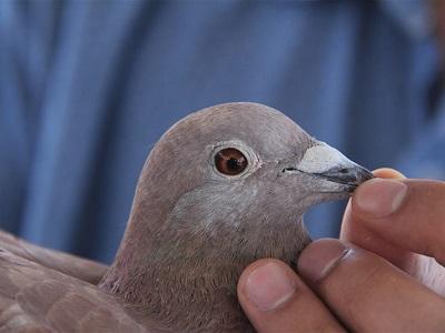 不同年龄段的信鸽如何鉴别优劣