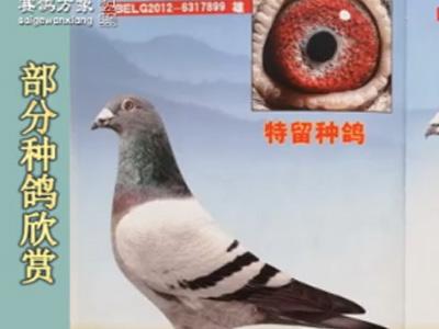 《赛鸽万象》视频节目:北京李
