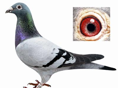 信鸽最主要的几个饲养方法