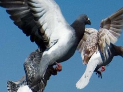沈阳鸽展偶遇:还在养鸽的80