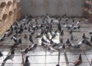 这么做可以让你的鸽子安全过冬