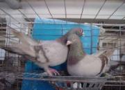 如何挑选适合自己的种鸽