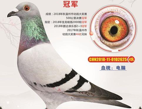 """2019年挂历上的温州""""鸽明星"""""""