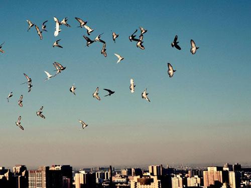 媒体报道城市养鸽现状:既是一道风景也是一道难题