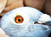 鸽圈精彩语录:育种是道 竞赛靠术