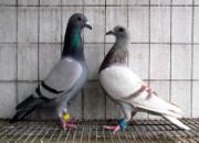 """百科长知识:如何""""正确""""淘汰鸽子"""