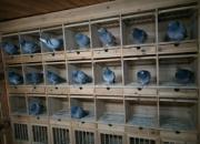 春赛幼鸽冬练三九 和鹞子捉迷藏