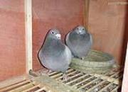 飞戈冠军知识讲座:种鸽配对营养调理办法(1)