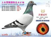 速来!超多名家战鸽在此!上海堃瀛公棚获奖鸽欣赏