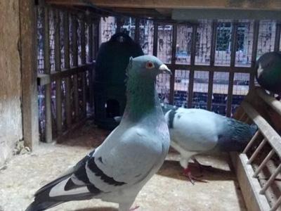 养鸽人的无奈:种鸽又被鹞子抓走
