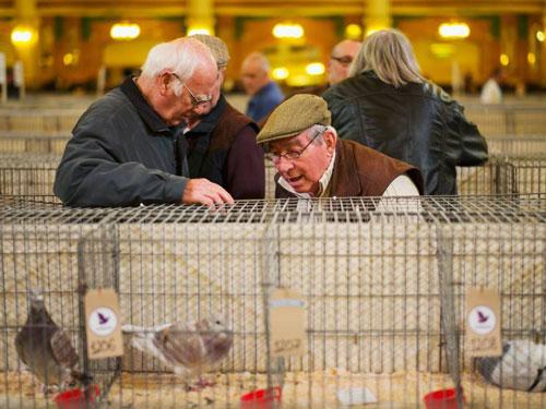 第47届英国国际信鸽展落幕 2500羽信鸽参展
