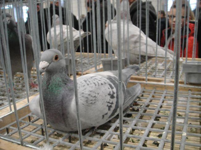 第三十六届奥林匹克鸽王获奖鸽现场照片