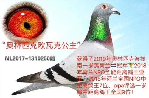 杨欧瓦克获2019年奥林匹克一岁鸽冠军