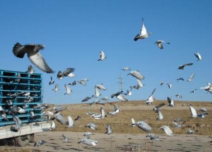 金凤翔千公里采用伯马制 前三名奖精选种鸽各一羽