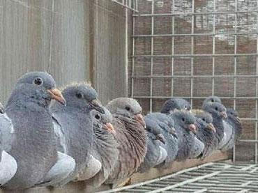 淘汰鸽子没有错杀只有不达标