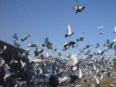 一年之计在于春 北京昌平鸽会公布春训计划
