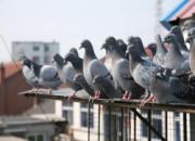 新手养鸽容易犯的错误:杂交贪多