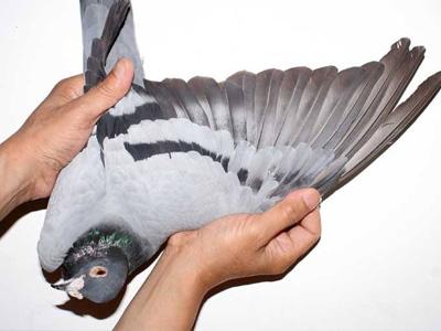谁也不知的羽毛魅力 论羽翼长度与速度的关联