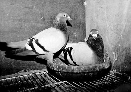 强化种鸽素质的育种法则