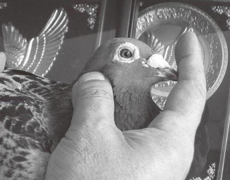 鸽眼收缩抖动与遗传