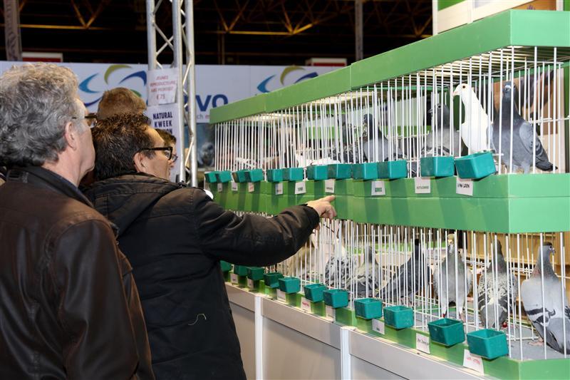 现场直击:比利时国际鸽展 顶级名家云集