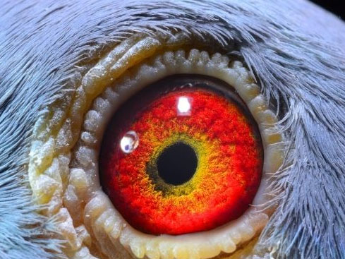 鸽友部分种鸽眼睛欣赏 欢迎点评