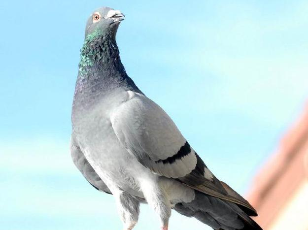这样的鸽子才能称得上好鸽子