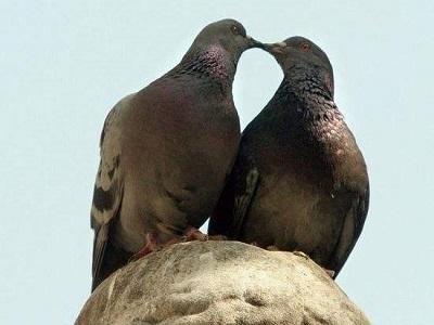 两只信鸽的爱情故事 看哭了!