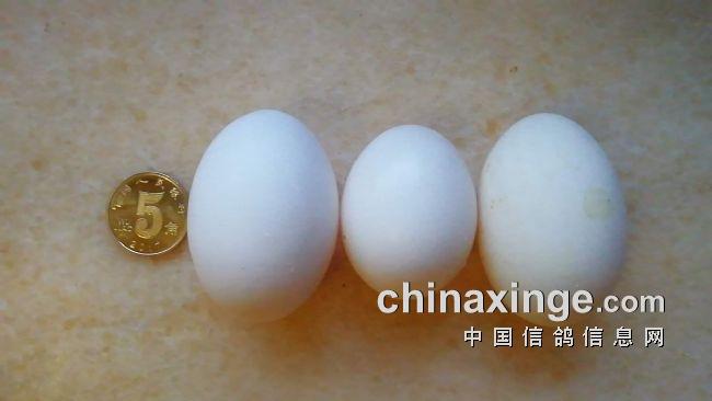 小雌鸽下了两枚大鸽子蛋(图)
