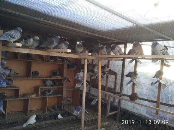 上海鸽友深冬北上访友 与鸽共
