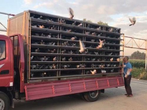 北京石景山鸽会下周开训 前两