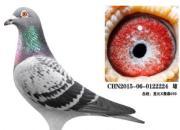 年轻种鸽十八对 看成绩比血统哪对最合适?