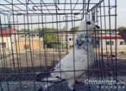 配对出师不利:三羽获奖种鸽逃笼