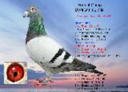 """每日一鸽:福登霍芬之""""阿甘"""""""