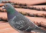 养出健康鸽子 钙磷比例很重要