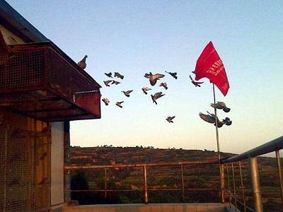 家飞:因时而异 因鸽而异