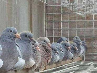 """缺少""""竞技心""""养鸽者 作育不出好赛鸽"""