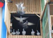 自然开家减少幼鸽丢失率